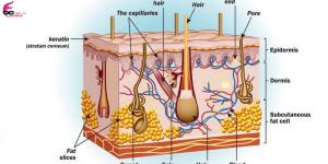 فیزیولوژی پوست